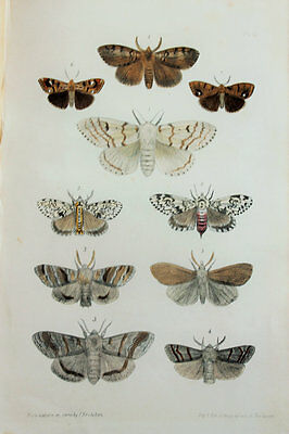 Antique Victorian Moth Print by Rev. Morris, Hand Coloured Engraving (ref 12)