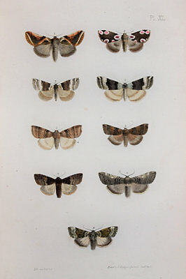 Antique Victorian Moth Print by Rev. Morris, Hand Coloured Engraving (ref 40)