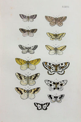 Antique Victorian Moth Print by Rev. Morris, Hand Coloured Engraving (ref 27)