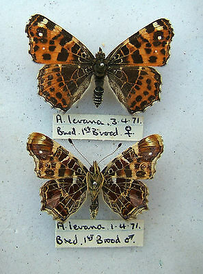 NYMPHALIDAE A. levana Map butterfly Pair 1971
