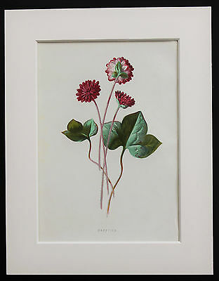 Pink Hepatica - Mounted Antique Botanical Flower Print 1880s by Hulme