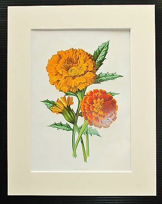 Marigold - Mounted Antique Botanical Flower Print 1880s by Hulme