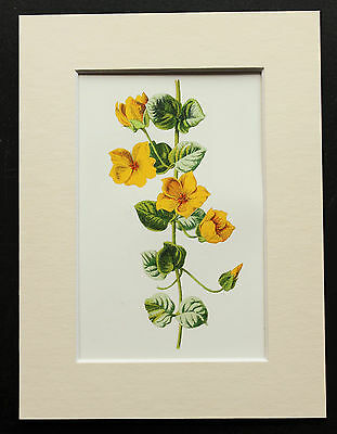 Yellow Money Wort - Mounted Antique Botanical Flower Print 1880s by Hulme