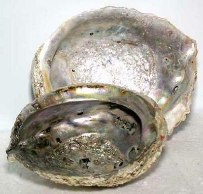 Large Abalone Shell for Incense or Smudge Wands!