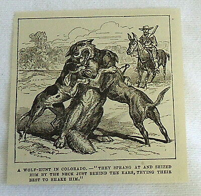 small 1882 magazine engraving ~ WOLF-HUNT IN COLORADO, dogs seize wolf by neck