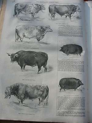 LN-1844-Southampton Agriculture Meeting-Sow-Boar-Bull