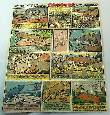 1955 cartoon page ~ COYOTES, Pests or Protectors?