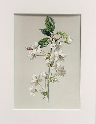 White Wild Cherry - Mounted Antique Botanical Wild Flower Print 1880s by Hulme