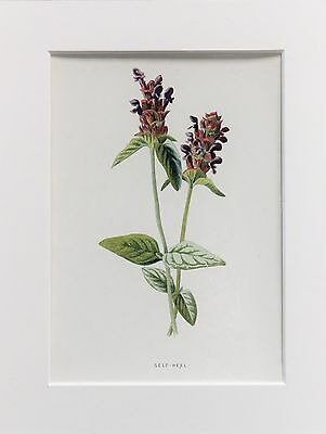 Purple Self Heal - Mounted Antique Botanical Wild Flower Print 1880s by Hulme