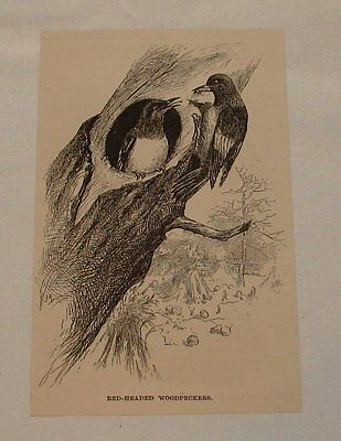 1891 magazine engraving ~ RED-HEADED WOODPECKERS