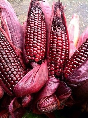 Ruby Red Corn-15 Seeds - ORGANIC