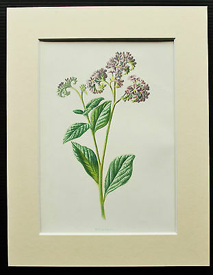 Heliotrope - Mounted Antique Botanical Flower Print 1880s by Hulme