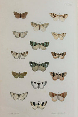 Antique Victorian Moth Print by Rev. Morris, Hand Coloured Engraving (ref 31)