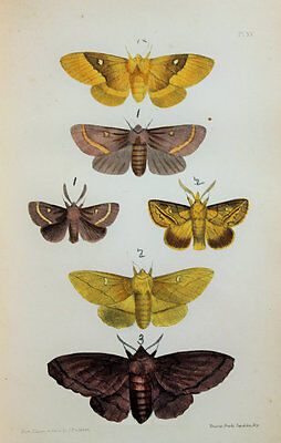 Antique Victorian Moth Print by Rev. Morris, Hand Coloured Engraving (ref 15)