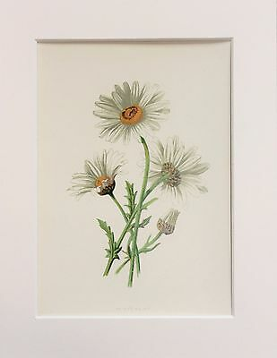White Ox Eye Daisy - Mounted Antique Botanical Wild Flower Print 1880s by Hulme