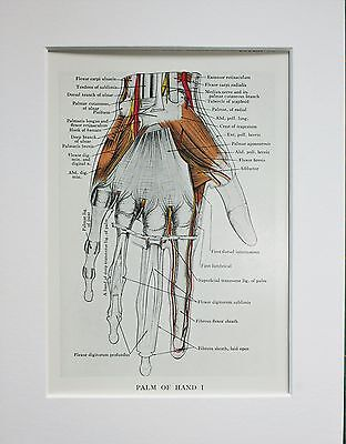 1930s Vintage Anatomy Print - Colour Anatomical - Mounted - Hand, Muscles (31)