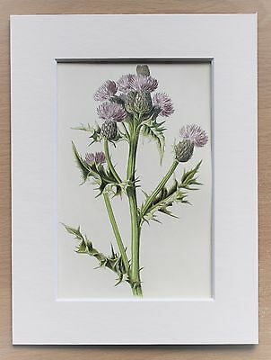 Purple Thistle - Mounted Antique Botanical Flower Print 1880s by Hulme