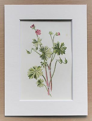 Pink Geranium Cranesbill - Mounted Antique Botanical Flower Print 1880s by Hulme