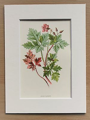 Pink Herb Robert - Mounted Antique Botanical Flower Print 1880s by Hulme