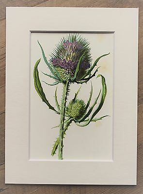 Purple Teasel - Mounted Antique Botanical Flower Print 1880s by Hulme