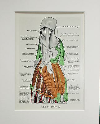 1930s Vintage Anatomy Print - Colour - Anatomical - Mounted - Foot Muscles (44)