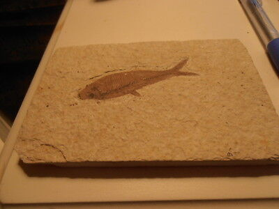 c55 million years old Fish Fossil Knightias Dyplomistus from Green River Wyoming