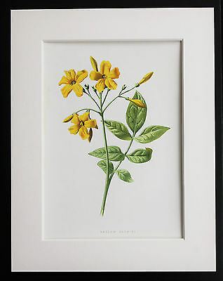 Yellow Jasmine - Mounted Antique Botanical Flower Print 1880s by Hulme