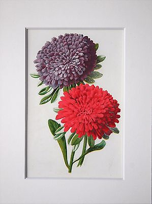Pink & Purple Aster - Mounted Antique Botanical Flower Print 1880s by Hulme