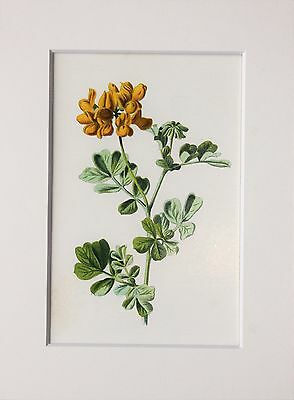 Yellow Coronilla. - Mounted Antique Botanical Flower Print 1880s by Hulme