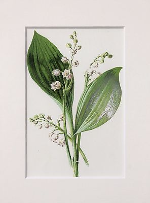 White Lily of the Valley.  Mounted Antique Botanical Flower Print 1880s by Hulme
