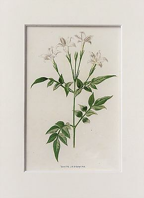 White Jasmine. - Mounted Antique Botanical Flower Print 1880s by Hulme