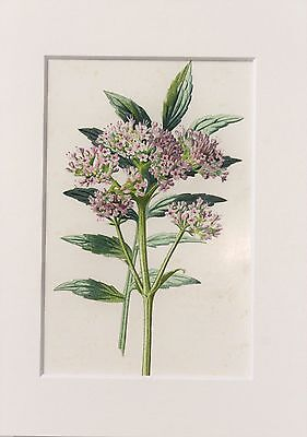 Purple Valerian. - Mounted Antique Botanical Flower Print 1880s by Hulme