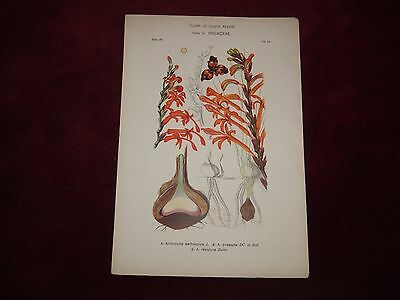 Victorian Flora Of South Africa  Print Family 24, Iridaceae, Plate 49