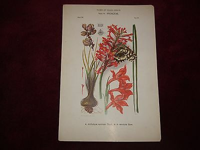 Victorian Flora Of South Africa Print Family 24, Iridaceae, Plate 50.
