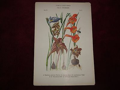 Victorian Flora Of South Africa Print Family 24, Iridaceae, Plate 48.