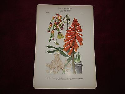 Victorian Flora Of South Africa Print Family 19, Liliaceae, Plate 24.