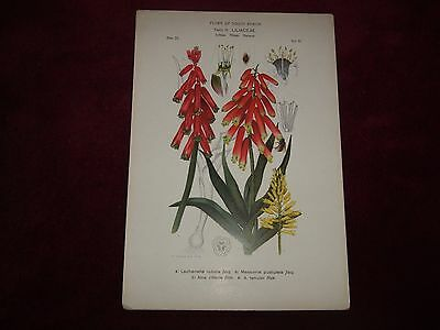 Victorian Flora Of South Africa Print Family 19, Liliaceae, Plate 23.