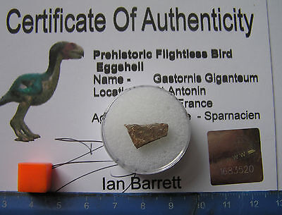 Ultra Rare  Piece  Of Gastornis Prehistoric  Bird Eggshell-With Certificate