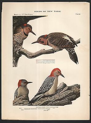 Red Bellied Woodpecker and Flicker Bird Print - c1914 by Louis Agassiz Fuertes