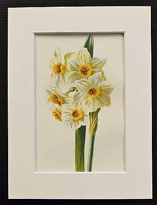 Narcissus or Daffodil - Mounted Antique Botanical Flower Print 1880s by Hulme