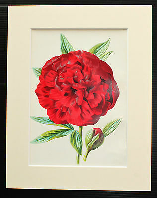Red Peony - Mounted Antique Botanical Flower Print 1880s by Hulme