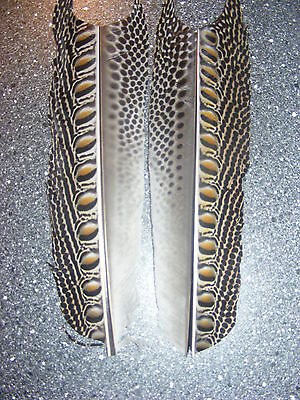 Argus Pheasant - Wing Feathers (Cut)
