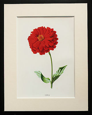 Red Zinnia - Mounted Antique Botanical Flower Print 1880s by Hulme