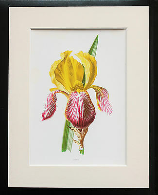 Yellow Iris - Mounted Antique Botanical Flower Print 1880s by Hulme