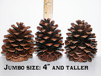 "Lot of 100 Oregon PONDEROSA Pine Cones Organic Natural JUMBO SIZE 4"" tall and up"
