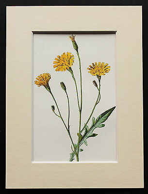 Yellow Autumnal Hawkbit - Mounted Antique Botanical Flower Print 1880s by Hulme
