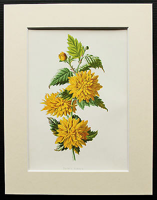 Double Kerria Yellow - Mounted Antique Botanical Flower Print 1880s by Hulme