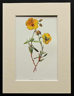 Common Rock-Rose - Mounted Antique Botanical Flower Print 1880s by Hulme