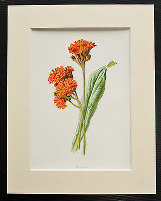 Hawkweed - Mounted Antique Botanical Flower Print 1880s by Hulme