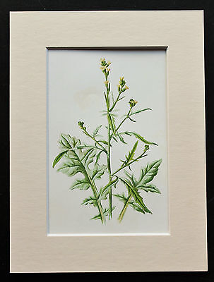 Yellow Hedge Mustard - Mounted Antique Botanical Flower Print 1880s by Hulme
